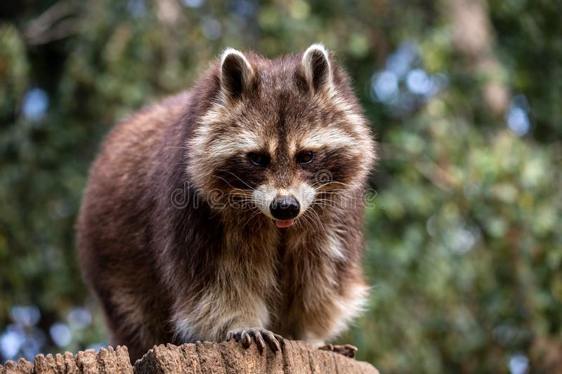 Portrait of adult male common raccoon on the tree trunk stock image
