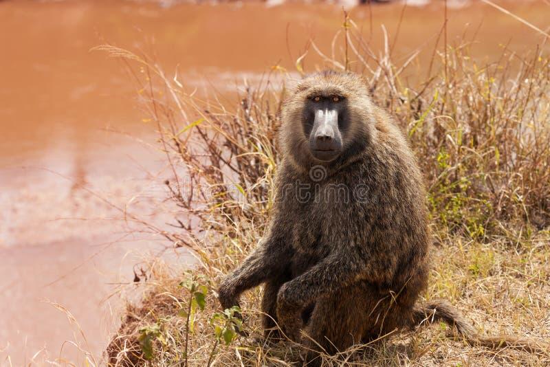 Adult Olive baboon foraging near the lake. Portrait of adult Olive baboon foraging near the lake, Kenya, Africa stock photo