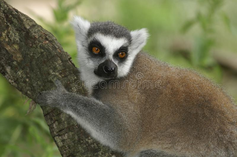 Portrait of an adult Ring-tailed Lemur resting on a tree branch stock photography