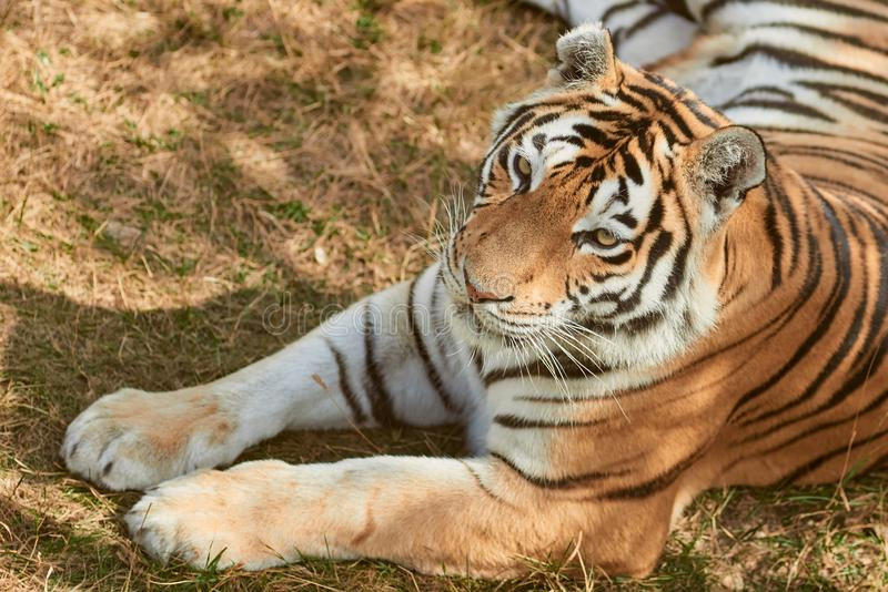 Beautiful tigress portrait. Portrait of adult tigress. Wild animal in the nature royalty free stock photos