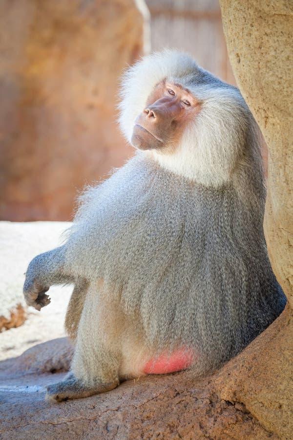 Portrait africain de babouin image libre de droits