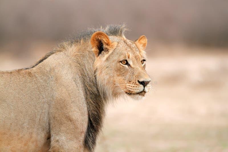 Portrait africain de lion images libres de droits