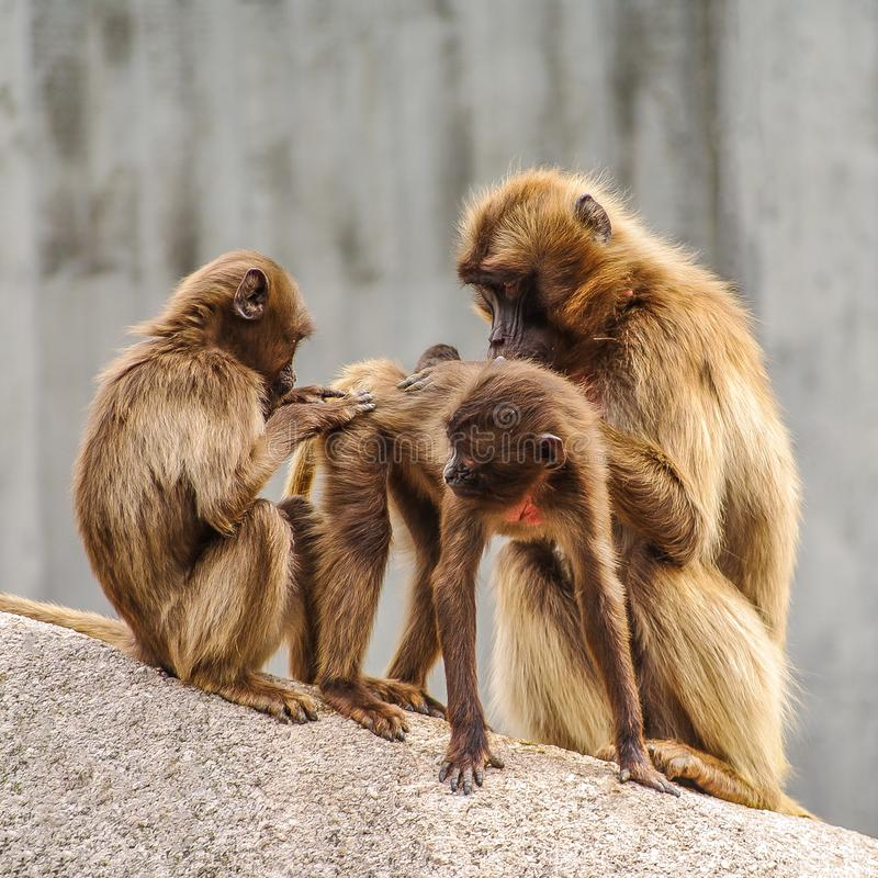 Portrait of African baboons in the open resort at cleaning session. Closeup royalty free stock photography