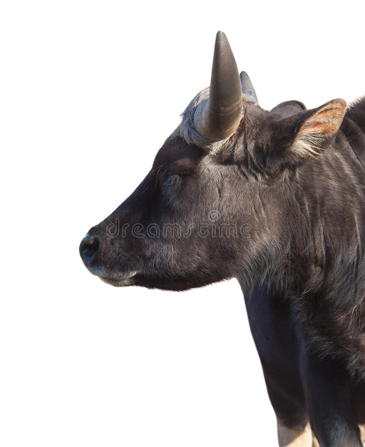 Portrait of an African bull isolated stock image