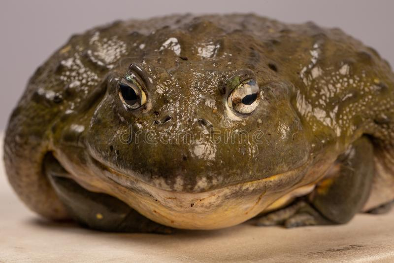 The portrait of African bullfrog. Macro. Toad royalty free stock images
