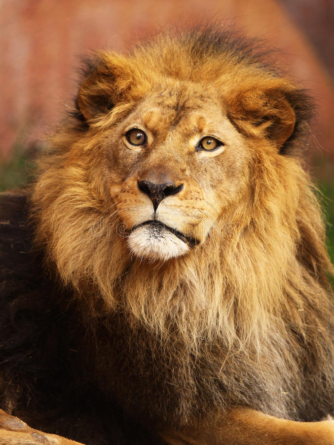 Portrait of African Lion. Close up portrait of African Lion in late afternoon sun stock photos