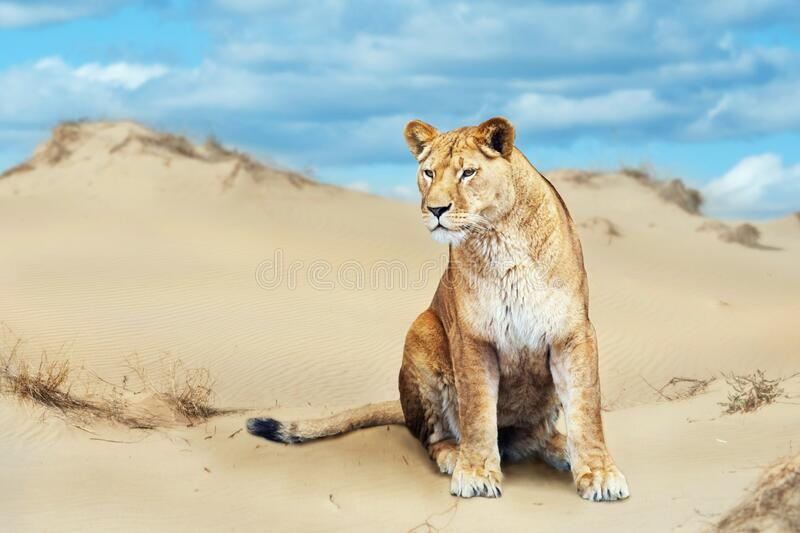Portrait of African lion. Male  in hot sunny day in desert royalty free stock image