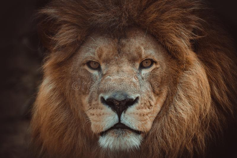 Portrait of an African lion. In the Savannah sitting close stock photography