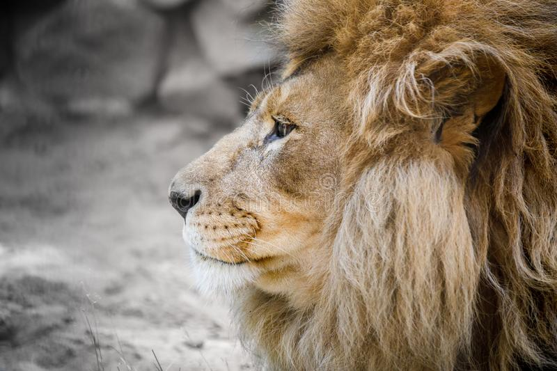Portrait of an African lion. In the Savannah sitting close royalty free stock photo