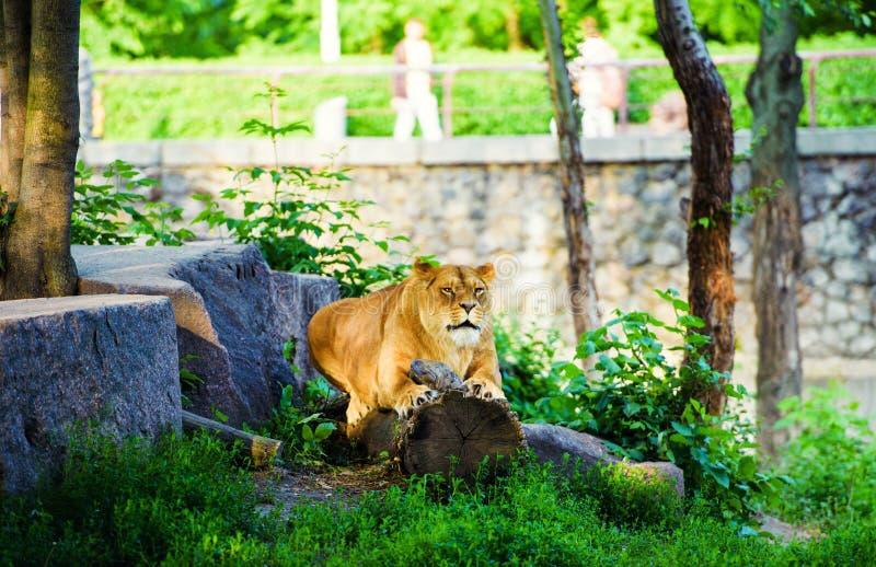 Portrait of an African lioness & x28;Panthera leo. Animal, background, big, cat, dangerous, eyes, face, feline, female, head, hunter, mammal, nature, park stock photos