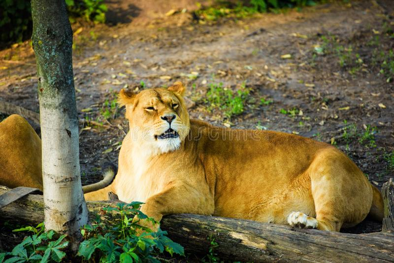 Portrait of an African lioness (Panthera leo. Animal, background, big, cat, dangerous, eyes, face, feline, female, head, hunter, mammal, nature, park royalty free stock image
