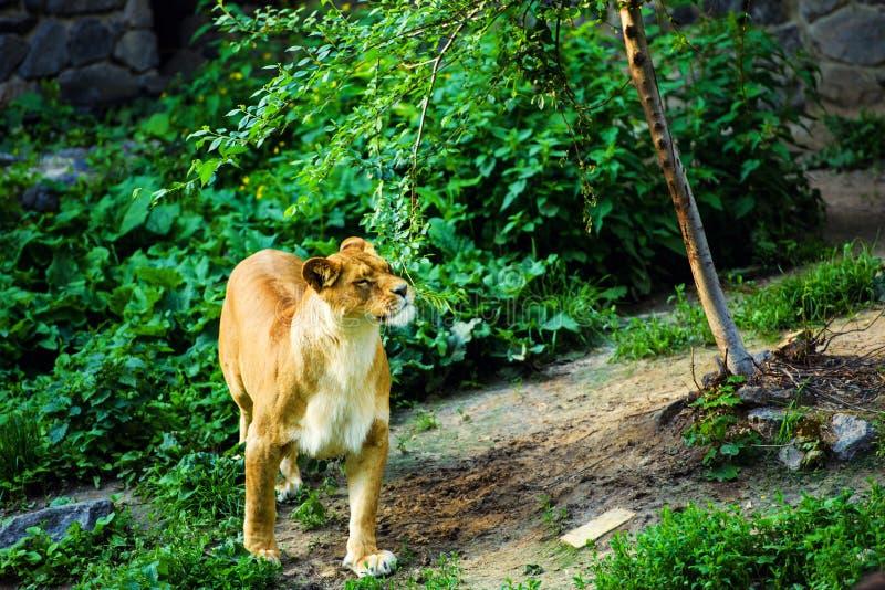 Portrait of an African lioness & x28;Panthera leo. Animal, background, big, cat, dangerous, eyes, face, feline, female, head, hunter, mammal, nature, park stock photo