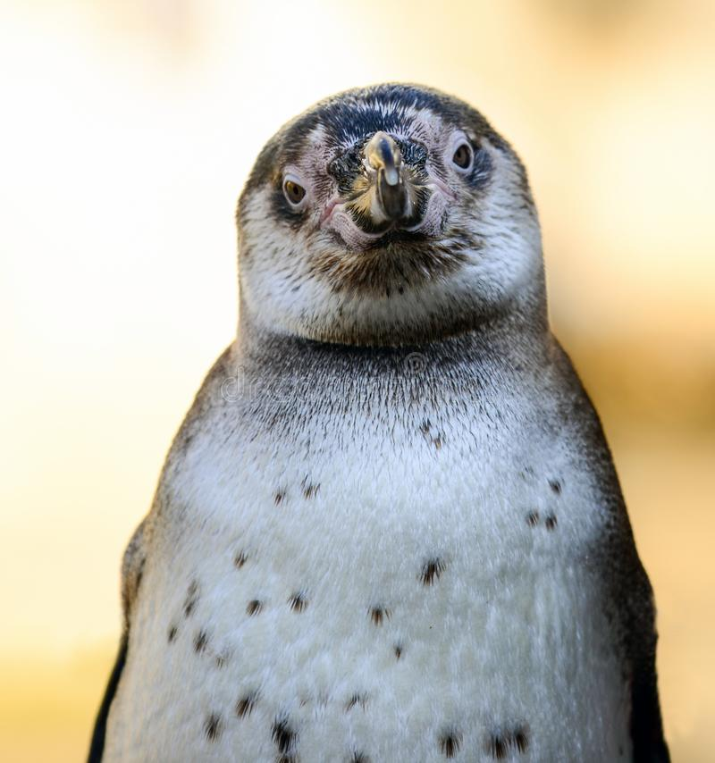 Portrait of African penguin (spheniscus demersus stock photos