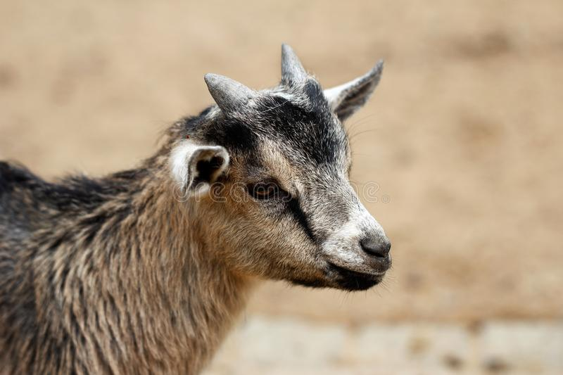 African pygmy goat kid. Portrait of African pygmy goat kid. Photography of nature stock photography