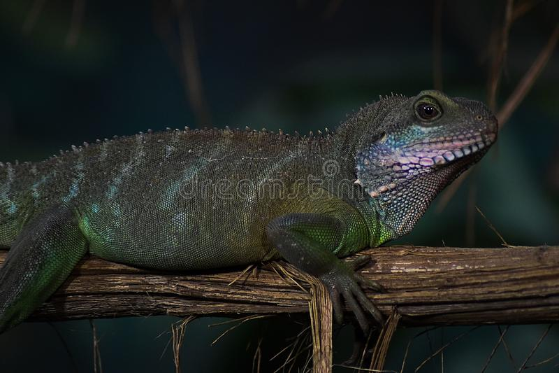 Portrait of agamy. Agamidae Agamidae are numerous families of medium sized lizards. They grow 10–120 cm long and occur in the tropics and subtropics of stock image