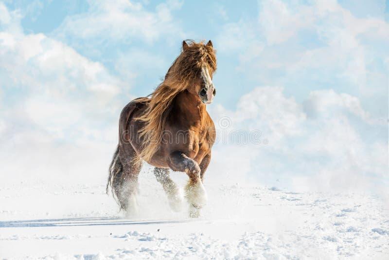 Portrait of Agar, Bohemian-Moravian Belgian horse in sunny day. Czech Republic stock images