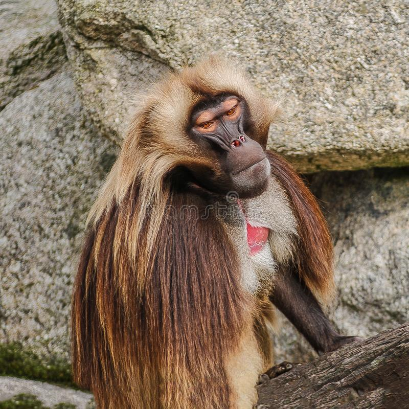 Portrait of aggressive dominant African baboon in the open resort. Close up royalty free stock photo