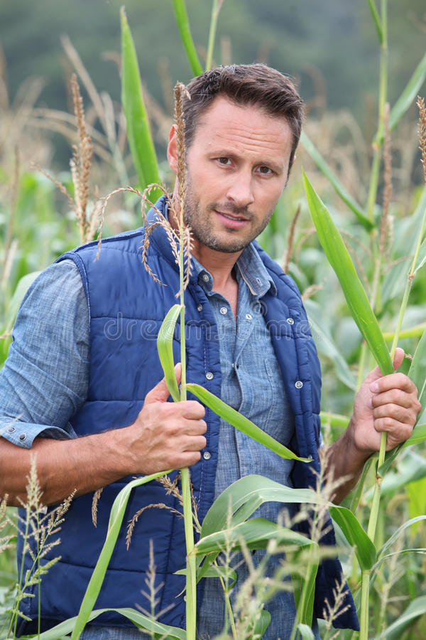 Portrait of agronomist. Agronomist analysing cereals in corn field royalty free stock images