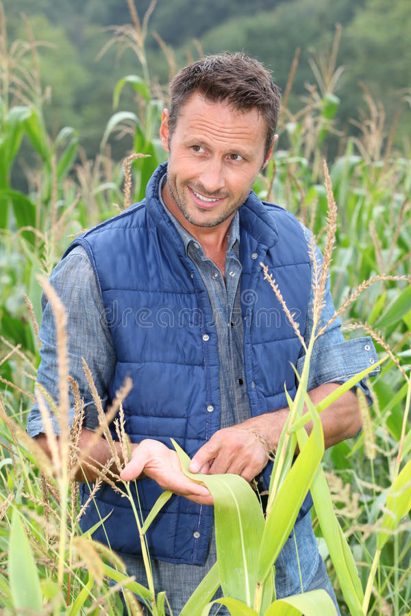 Portrait of agronomist. Agronomist analysing cereals in corn field stock images