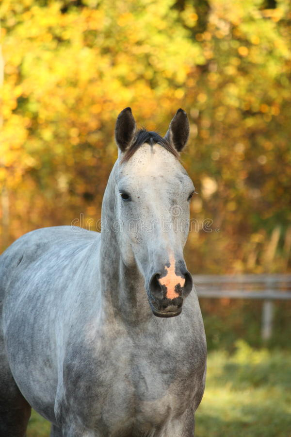 Portrait of akhal-teke horse in autumn stock images