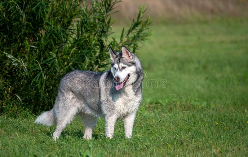 Portrait of an Alaskan Malamute dog in full growth, stands near a tall green bush royalty free stock image