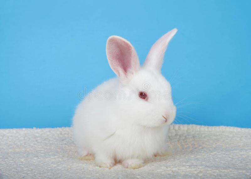 Portrait of an albino baby rabbit with blue background. Adorable white albino baby bunny crouched down on sheepskin blanket with blue background looking to stock photo