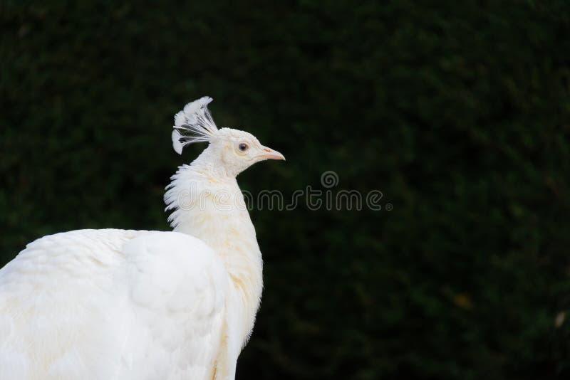 Albino Peacock in a dark background stock photos