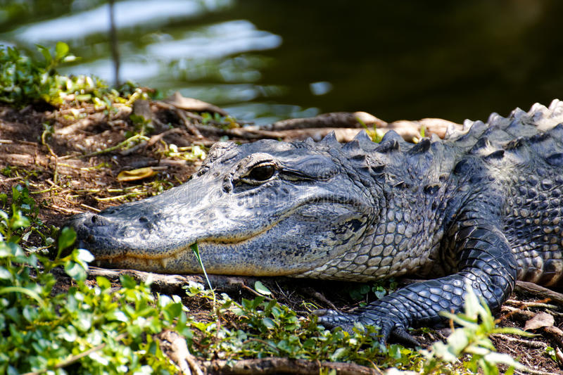 Download Portrait of an Alligator stock image. Image of dangerous - 22378477