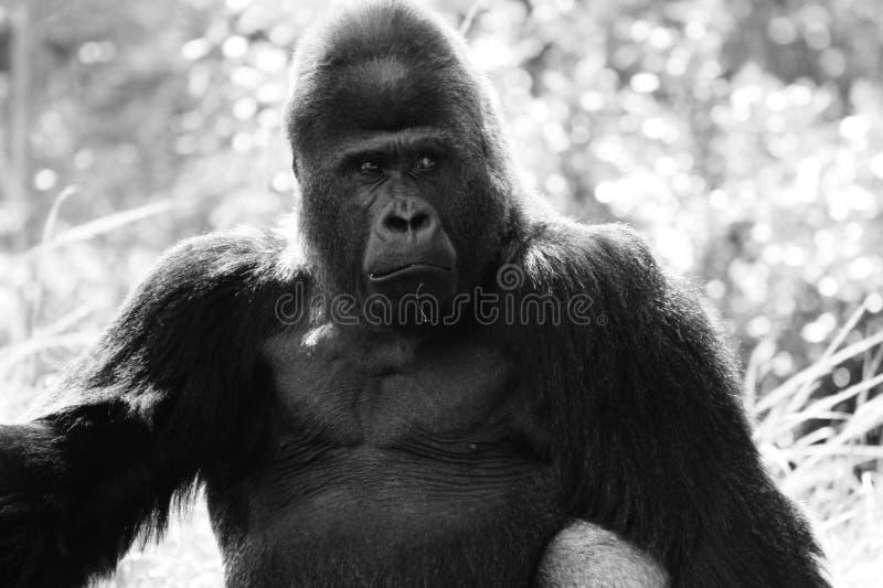 Portrait of alpha male gorilla stock photography