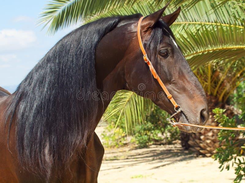 Portrait of amazing Andalusian bay stallion stock photography