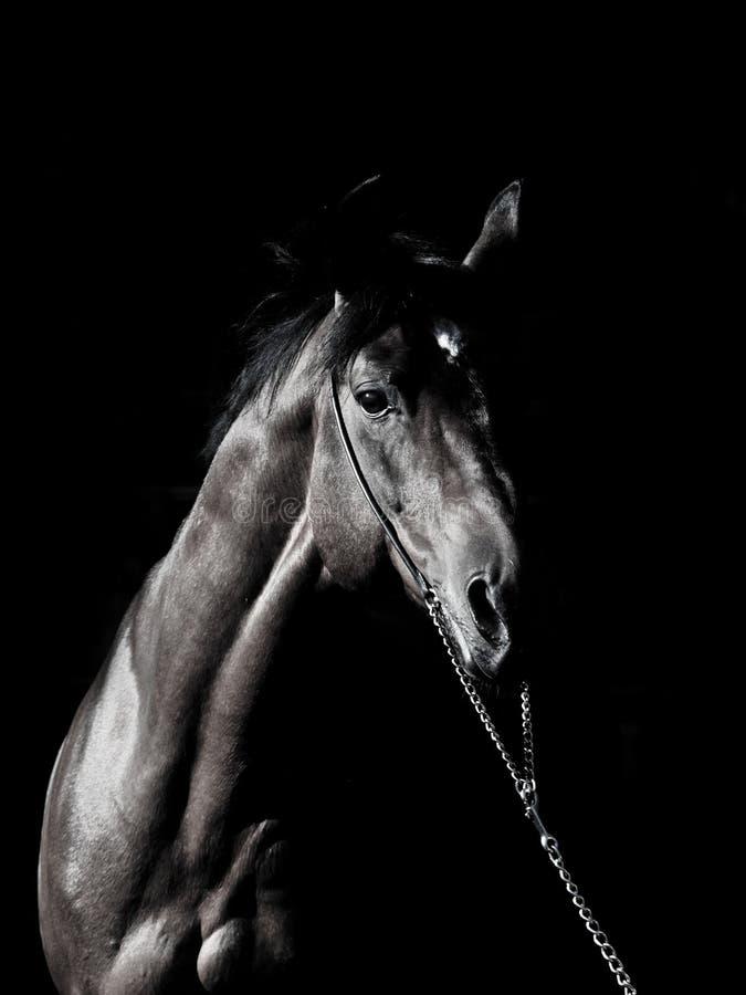 Portrait of amazing breed stallion in dark stock photography