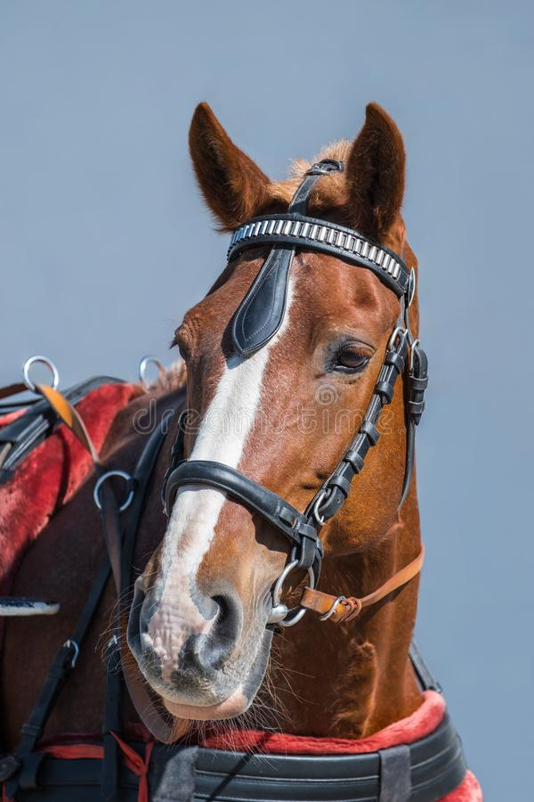 Portrait of an amazing brown horse with a bridle on the sky background royalty free stock photos