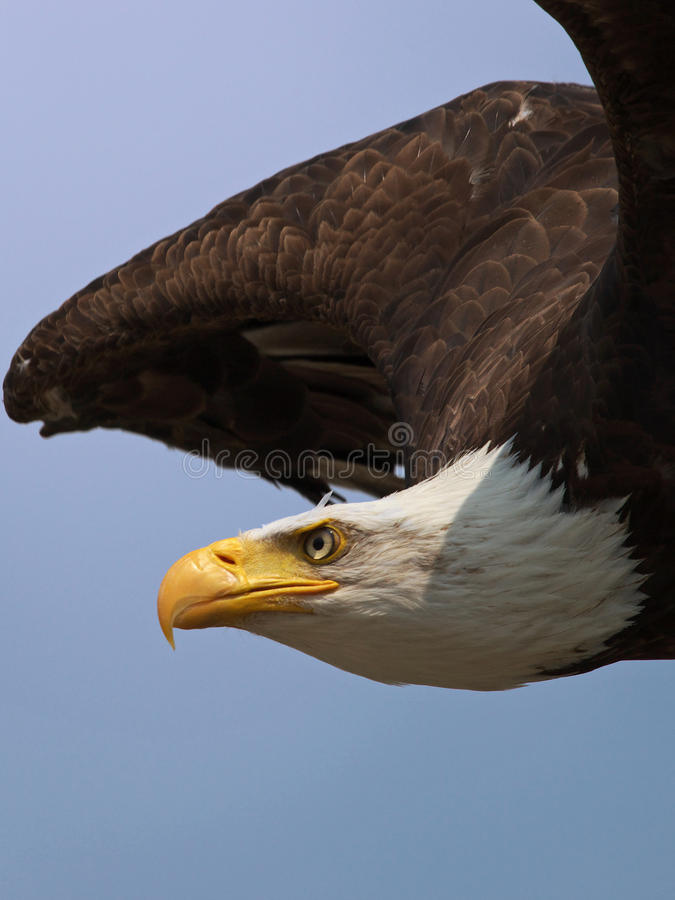 Portrait of an American Bald Eagle royalty free stock images