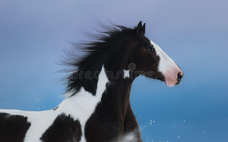 Portrait of American Paint horse on dark blue background. Side view. Close up royalty free stock photo