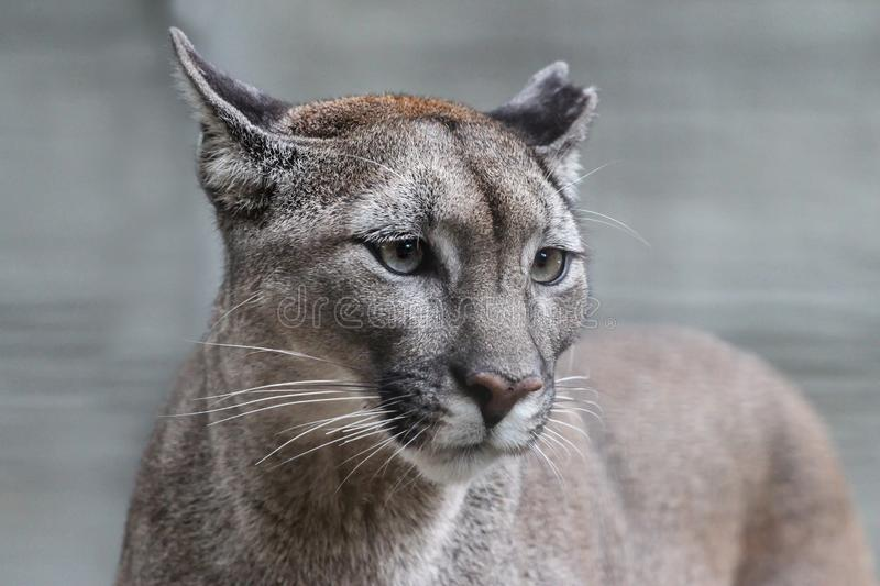 Portrait of an american puma with bokeh background stock photos