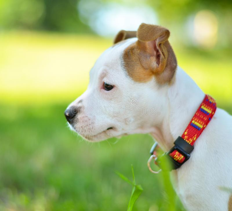 Portrait of American Staffordshire cute terrier puppy stock photos