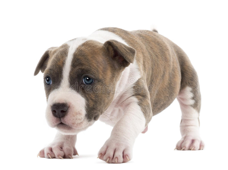 Portrait of American Staffordshire Terrier Puppy. 6 weeks old, against white background stock photos