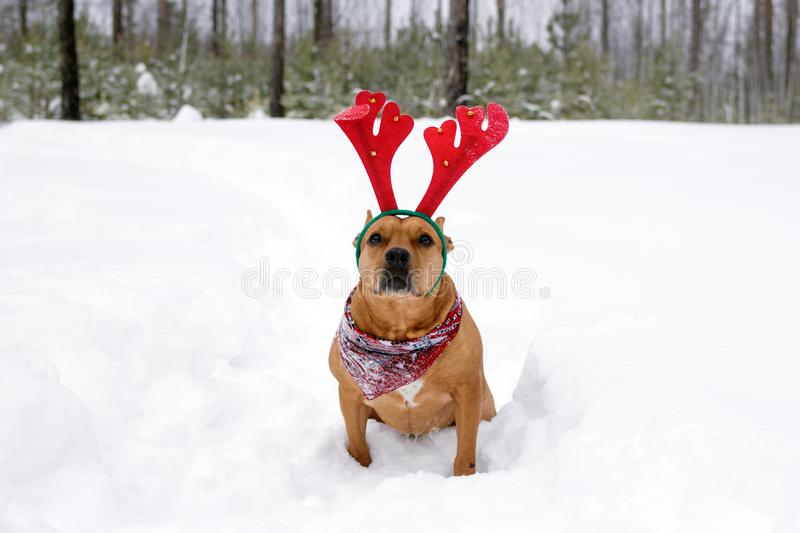 Portrait of American Staffordshire terrier with red deer horns on a snow in winter forest stock photo