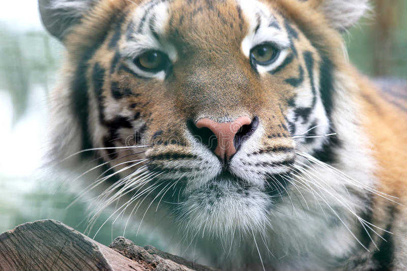 Portrait of Amur tiger. The portrait of Amur tiger stock photography