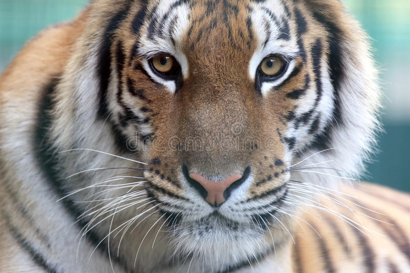 Portrait of Amur tiger. The portrait of Amur tiger stock image