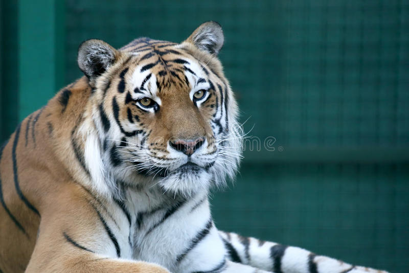 Portrait of Amur tiger. The portrait of Amur tiger stock photos