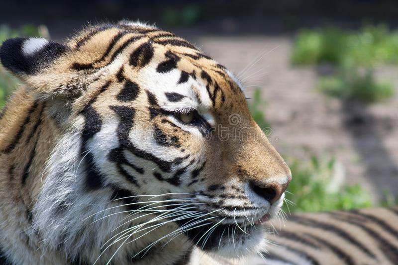 Portrait of the Amur tiger. In the winter afternoon royalty free stock photo