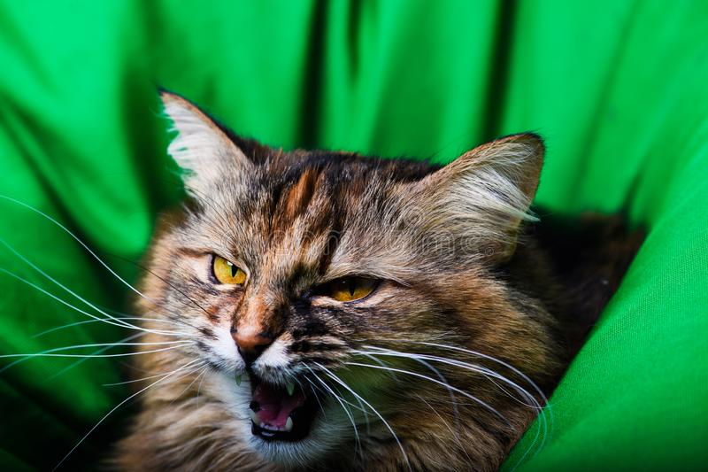 Portrait of angry cat royalty free stock image