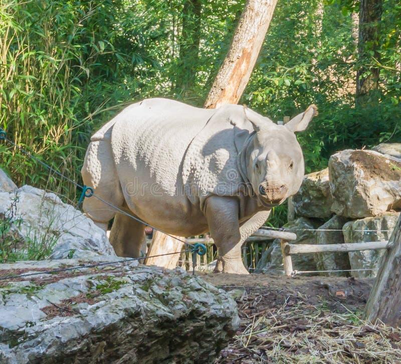 Portrait animal d'espèce menacée rare d'un rhinocéros indien photographie stock libre de droits