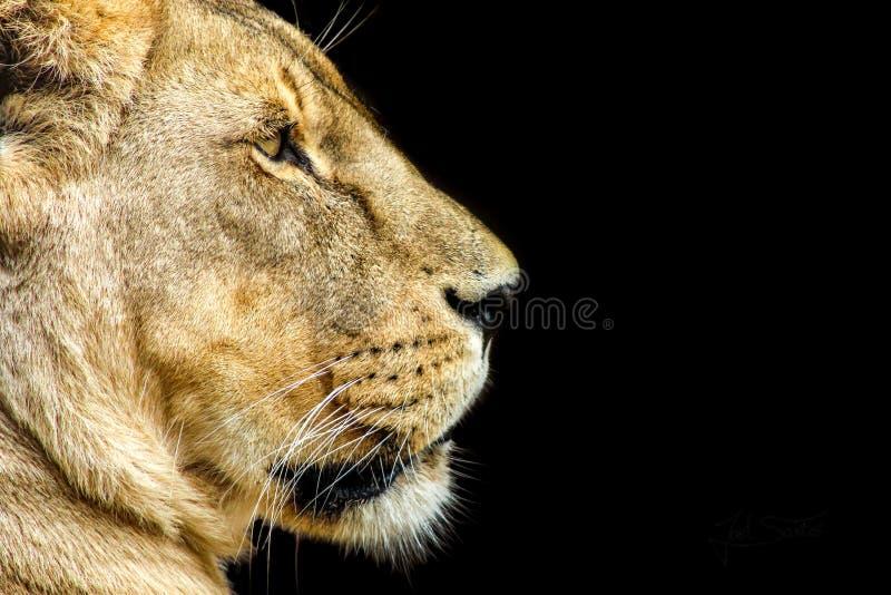 Portrait animal d'une lionne photographie stock