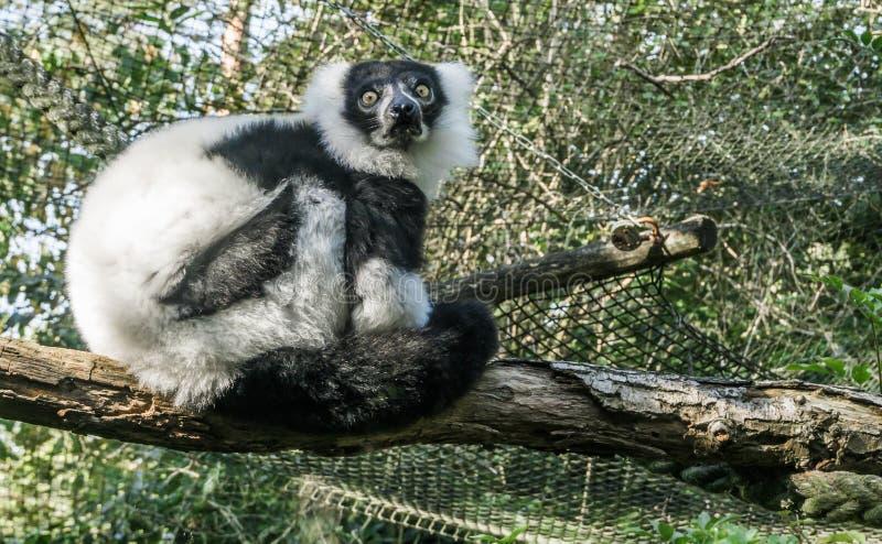 Portrait animal de beau primat d'un singe noir et blanc ruffed de lémur se reposant sur une branche et regardant dans l'appareil- images libres de droits