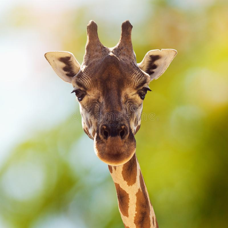 Portrait animal de girafe photographie stock