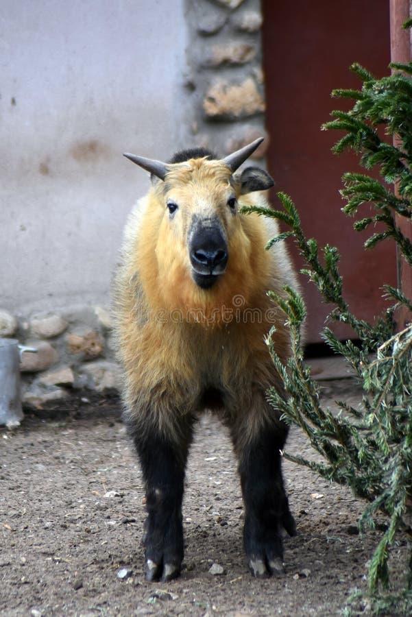 Portrait animal de Takin Photo couleur photo stock