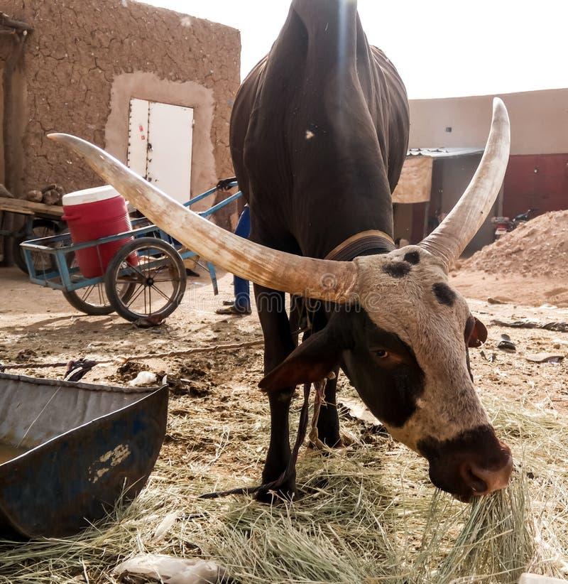 Portrait of ankole-watusi bighorned bull, Agadez cattle market, Niger. Portrait of ankole-watusi bighorned bull at Agadez cattle market, Niger stock photos