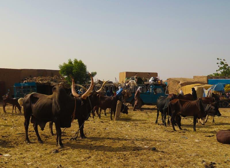 Portrait of ankole-watusi bighorned bull, Agadez cattle market, Niger stock photos